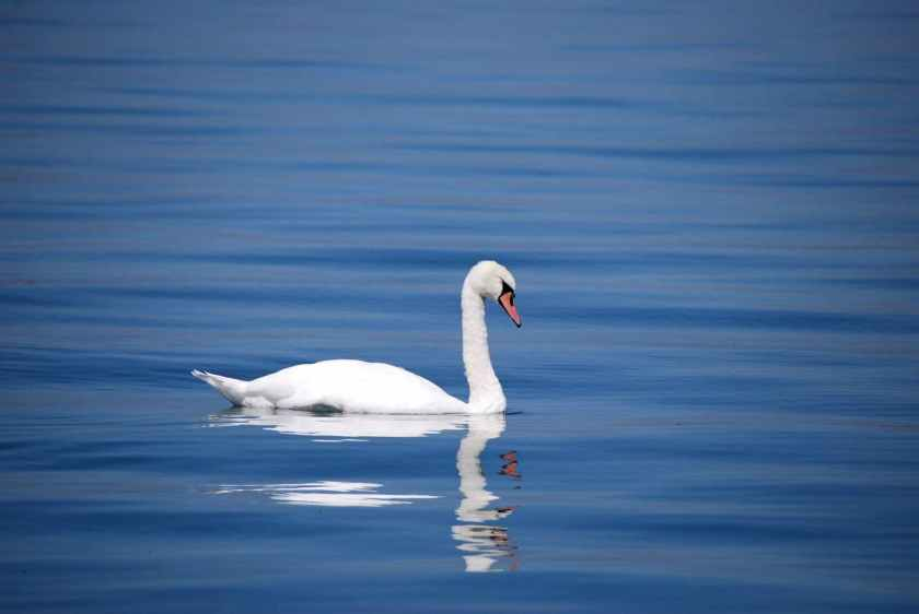swan-bird-animal-water-67287.jpeg